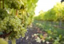 Grape tonnage rises despite 2011′s cool conditions: BCWI