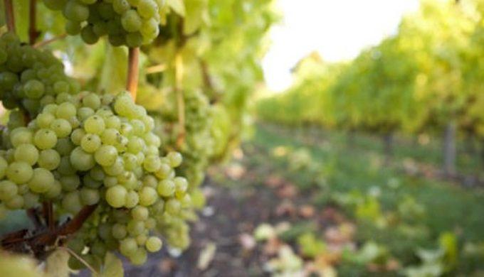 bc-grapes